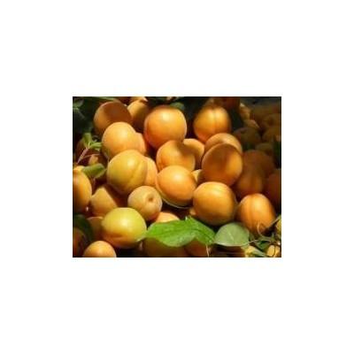 杏子基地-陕西丰源红杏产地-金太阳杏价格-凯特杏大量上市了